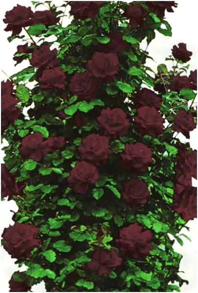 Вьющиеся розы посадка и уход  HappyModernRU